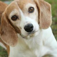 Adopt A Pet :: Maggie - Media, PA