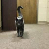 Adopt A Pet :: Kuma II - Green Bay, WI