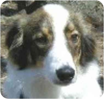 Collie Dog for adoption in Eatontown, New Jersey - Jake
