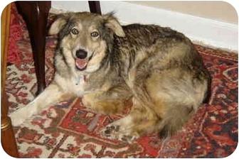 Border Collie/German Shepherd Dog Mix Dog for adoption in Baldwin, New York - Phoenix