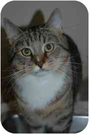 Domestic Shorthair Cat for adoption in Walker, Michigan - George