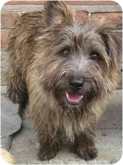 Cairn Terrier/Norfolk Terrier Mix Dog for adoption in Chicago, Illinois - Skipper*ADOPTED!*