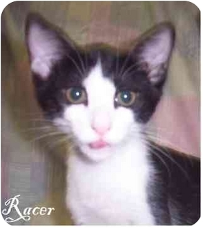 Domestic Shorthair Cat for adoption in Ozark, Alabama - Racer