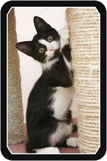 Domestic Shorthair Kitten for adoption in Sterling Heights, Michigan - Dewey - ADOPTED!