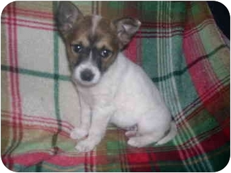 Fox Terrier (Toy)/Australian Cattle Dog Mix Puppy for adoption in Wauseon, Ohio - Cute Small Mixed Puppies