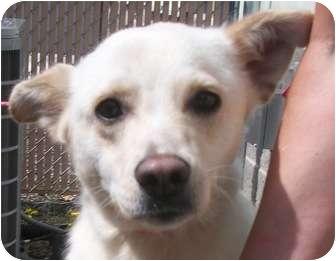 Labrador Retriever/Shepherd (Unknown Type) Mix Dog for adoption in Lincolnton, North Carolina - Lila