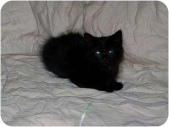Domestic Longhair Kitten for adoption in Warren, Michigan - Midnite