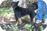 Labrador Retriever/German Shepherd Dog Mix Dog for adoption in Summerville, South Carolina - Zoey