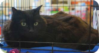 Domestic Longhair Cat for adoption in Merrifield, Virginia - Purz