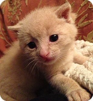 Domestic Shorthair Kitten for adoption in Huntsville, Ontario - Tripp - Baby Kitten!