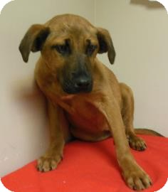 German Shepherd Dog Mix Puppy for adoption in Gary, Indiana - Sweetie Pie