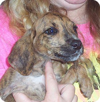 Plott Hound Mix Puppy for adoption in Richmond, Virginia - Plott Hound Puppies