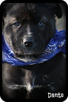 Siberian Husky/Labrador Retriever Mix Puppy for adoption in Brattleboro, Vermont - Dante