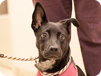 Labrador Retriever Mix Puppy for adoption in Dallas, Texas - Etta