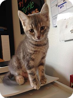 Domestic Shorthair Kitten for adoption in Des Moines, Iowa - Sweetie Pie