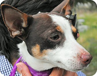 Smooth Fox Terrier/Jack Russell Terrier Mix Dog for adoption in Santa Ana, California - Eddie (JR)