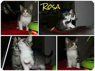 Domestic Shorthair Kitten for adoption in Arlington/Ft Worth, Texas - Rosa