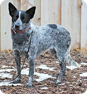 Australian Cattle Dog/Border Collie Mix Dog for adoption in Delano, Minnesota - Luna