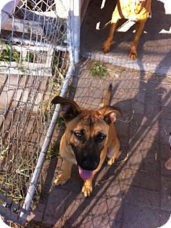 Belgian Malinois Mix Puppy for adoption in Myakka City, Florida - Lady Godiva