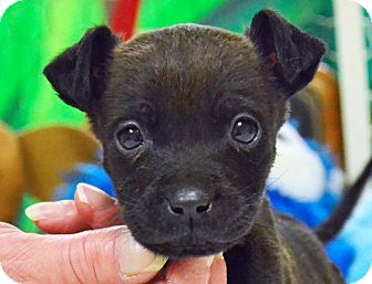 Chihuahua Mix Puppy for adoption in Searcy, Arkansas - Bitsy