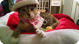 Domestic Shorthair Kitten for adoption in New York, New York - Elsa( Flushing)