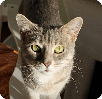 Domestic Shorthair Cat for adoption in Chicago, Illinois - Angela
