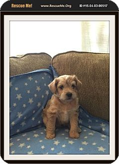 Poodle (Standard)/Terrier (Unknown Type, Small) Mix Puppy for adoption in Rancho Cucamonga, California - Bandit