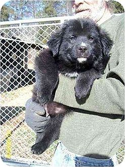 Corgi/Spaniel (Unknown Type) Mix Puppy for adoption in Oswego, New York - Hans