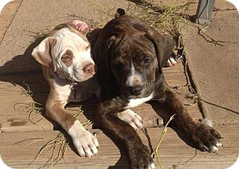 Mastiff Mix Puppy for adoption in Truckee, California - Mastiff Puppy Violet