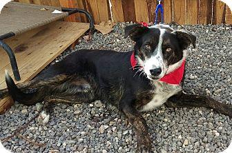 Border Collie Mix Dog for adoption in Apache Junction, Arizona - Toro