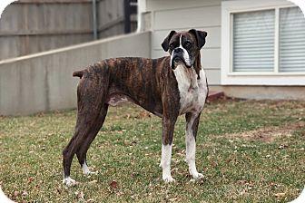Boxer Mix Dog for adoption in Wichita, Kansas - Boomer