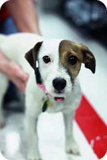 Jack Russell Terrier Puppy for adoption in Bloomington, Illinois - Baby Dog