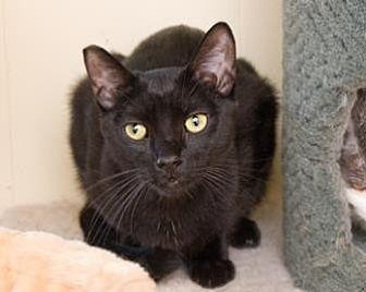 Bombay/Domestic Shorthair Mix Cat for adoption in Santa Paula, California - Mason