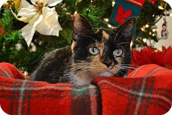 Domestic Shorthair Cat for adoption in Lebanon, Missouri - Sparkle