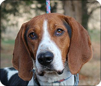 Hound (Unknown Type) Mix Dog for adoption in Clarksville, Tennessee - Duke