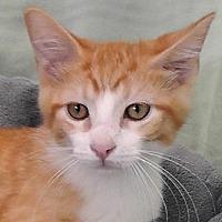 Domestic Shorthair Kitten for adoption in Redondo Beach, California - Finnigan