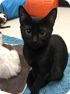 Domestic Shorthair Kitten for adoption in Orlando, Florida - Harvey