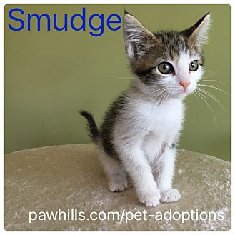 Domestic Shorthair Kitten for adoption in Agoura Hills, California - Smudge