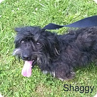 Shih Tzu/Poodle (Standard) Mix Dog for adoption in Waverly, New York - Shaggy