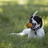 English Pointer/Brittany Mix Puppy for adoption in Wood Dale, Illinois - Weenie