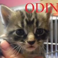 Domestic Shorthair/Domestic Shorthair Mix Kitten for adoption in Franklin, North Carolina - ODIN