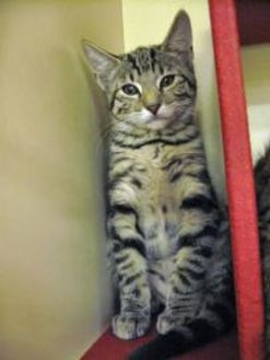 Domestic Shorthair/Domestic Shorthair Mix Cat for adoption in Chandler, Arizona - Lady