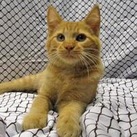Domestic Shorthair/Domestic Shorthair Mix Cat for adoption in Fayetteville, Tennessee - Rambler