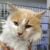 Domestic Mediumhair/Domestic Shorthair Mix Cat for adoption in Bakersfield, California - 653046