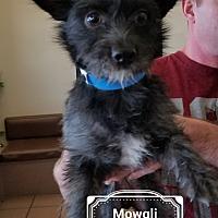 Adopt A Pet :: Mowgli - Las Vegas, NV