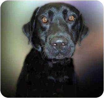 Labrador Retriever Dog for adoption in San Clemente, California - CHAMP