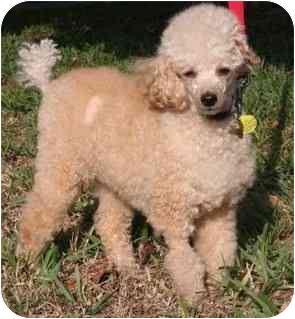 Miniature Poodle Mix Dog for adoption in Melbourne, Florida - BECKHAM
