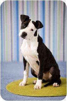 American Pit Bull Terrier Dog for adoption in Portland, Oregon - Pez