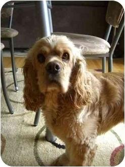 Cocker Spaniel Dog for adoption in Tacoma, Washington - Sunny