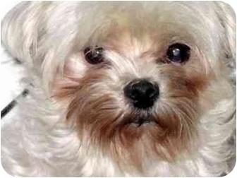 Maltese Mix Dog for adoption in Overland Park, Kansas - Sophie